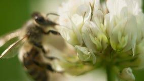 Abeja en el trabajo sobre la flor del trébol blanco que recoge el trébol de las hojas del polen A cuatro Imagen de archivo libre de regalías