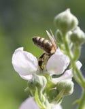 Abeja en el trabajo sobre los flores el día soleado Imágenes de archivo libres de regalías