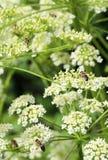 Abeja en el trabajo sobre los flores el día soleado Imagenes de archivo