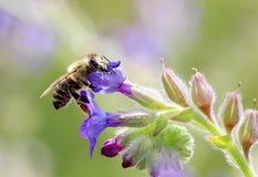 Abeja en el trabajo sobre los flores púrpuras el día soleado Imagen de archivo