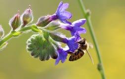 Abeja en el trabajo sobre los flores púrpuras el día soleado Fotos de archivo