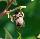 Abeja en el trabajo sobre un arbusto de frambuesa al día soleado Fotos de archivo libres de regalías