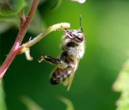 Abeja en el trabajo sobre un arbusto de frambuesa al día soleado Imagen de archivo libre de regalías