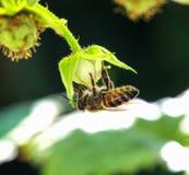 Abeja en el trabajo sobre un arbusto de frambuesa al día soleado Fotografía de archivo