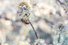 Abeja en el trabajo sobre un flor del albaricoque Imagen de archivo