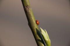 Abeja en el trabajo sobre un flor del albaricoque durante la primavera Fotografía de archivo