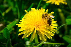 Abeja en el trabajo sobre una flor amarilla del diente de león Imagenes de archivo