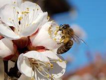 Abeja en flor Foto de archivo libre de regalías