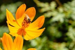 Abeja en flor Fotografía de archivo libre de regalías