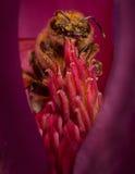 Abeja en flor Fotos de archivo libres de regalías