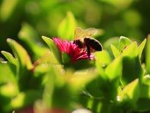 Abeja en flor Imagen de archivo libre de regalías