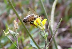 Abeja en flor Imagenes de archivo