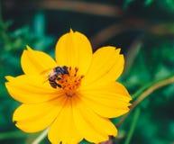 Abeja en flor amarilla Imágenes de archivo libres de regalías