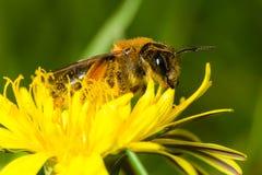 Abeja en flor amarilla Fotografía de archivo