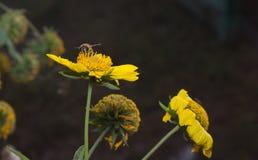 Abeja en flor amarilla Imagen de archivo