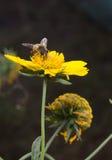 Abeja en flor amarilla Imagenes de archivo
