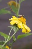 Abeja en flor amarilla Fotos de archivo libres de regalías