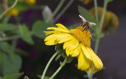 Abeja en flor amarilla Fotos de archivo