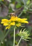 Abeja en flor amarilla Fotografía de archivo libre de regalías