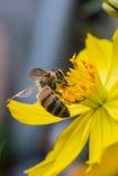 Abeja en flor amarilla Foto de archivo libre de regalías
