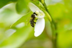 Abeja en flor azahar Fotos de archivo libres de regalías