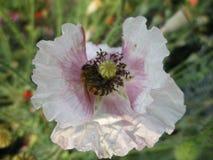 Abeja en flor con los pétalos blancos Fotografía de archivo libre de regalías