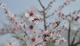 Abeja en flor de la almendra Fotos de archivo