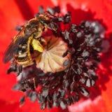 Abeja en flor de la amapola Fotos de archivo libres de regalías