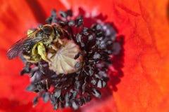 Abeja en flor de la amapola Foto de archivo