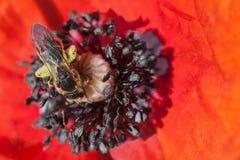 Abeja en flor de la amapola Imagen de archivo