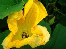 Abeja en flor de la calabaza Imagenes de archivo