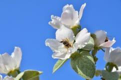 Abeja en flor de la manzana Imagenes de archivo
