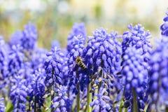 Abeja en flor de la primavera Imagen de archivo libre de regalías