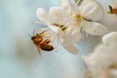 Abeja en flor de la primavera Fotografía de archivo
