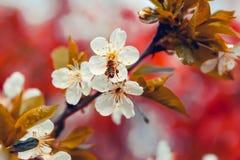 Abeja en flor de la primavera Foto de archivo