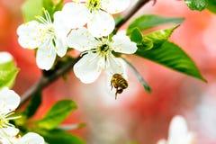 Abeja en flor de la primavera Imagenes de archivo
