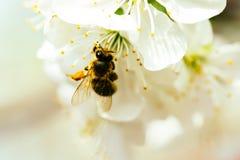 Abeja en flor de la primavera Fotos de archivo libres de regalías