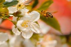 Abeja en flor de la primavera Foto de archivo libre de regalías