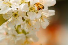 Abeja en flor de la primavera Imágenes de archivo libres de regalías