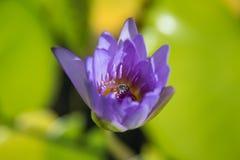 Abeja en flor de loto con la reflexión en la charca Imagenes de archivo