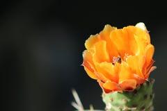Abeja en flor del cactus Fotografía de archivo libre de regalías