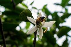abeja en flor del limón Fotografía de archivo libre de regalías