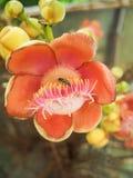 Abeja en flor del obús Imagen de archivo libre de regalías
