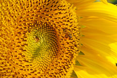 Abeja en flor del sol Foto de archivo libre de regalías