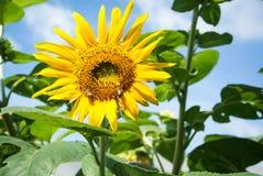 Abeja en flor del sol Imagen de archivo