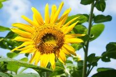 Abeja en flor del sol Imágenes de archivo libres de regalías
