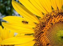 Abeja en flor del sol Imagen de archivo libre de regalías
