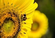 Abeja en flor del sol Fotografía de archivo libre de regalías