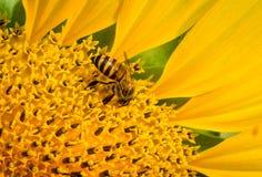 Abeja en flor del sol Imagenes de archivo