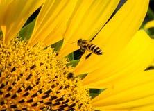 Abeja en flor del sol Fotos de archivo libres de regalías